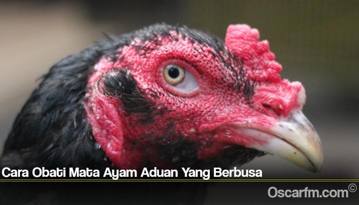 Cara Obati Mata Ayam Aduan Yang Berbusa
