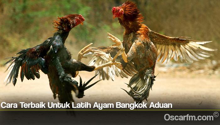 Cara Terbaik Untuk Latih Ayam Bangkok Aduan