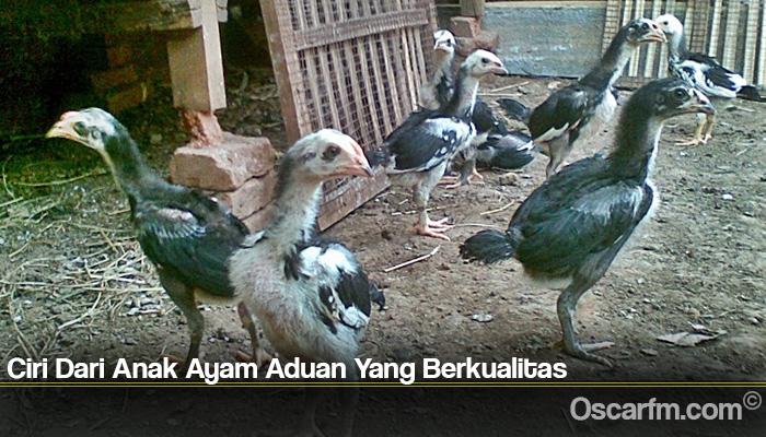 Ciri Dari Anak Ayam Aduan Yang Berkualitas