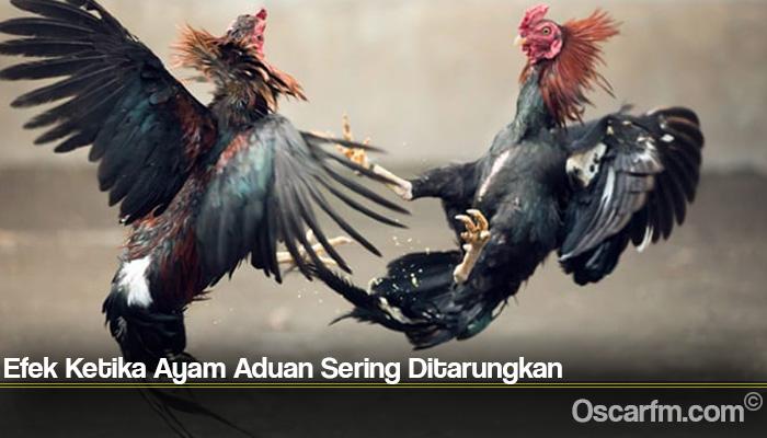 Efek Ketika Ayam Aduan Sering Ditarungkan