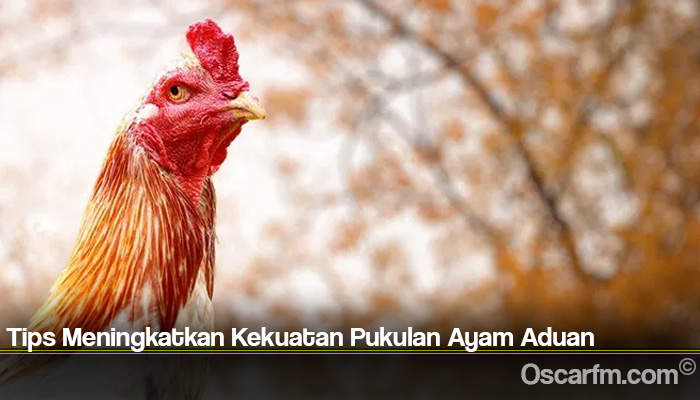 Tips Meningkatkan Kekuatan Pukulan Ayam Aduan